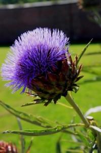 artichoke flowering